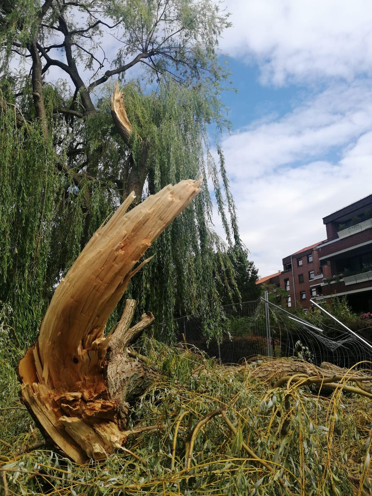 Im Vordergrund liegt der herabgestürzte, abgebrochene Ast einer Weide. Im Hintergrund der große Baum mit der Bruchstelle und ein Haus. ©Stadt Laatzen © Stadt Laatzen