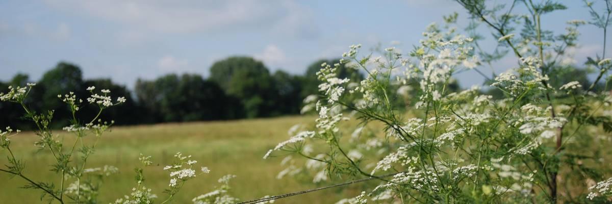 Blick über weiße Blütendolden auf einer Wiese und eine Baumreihe in der Leinemasch.