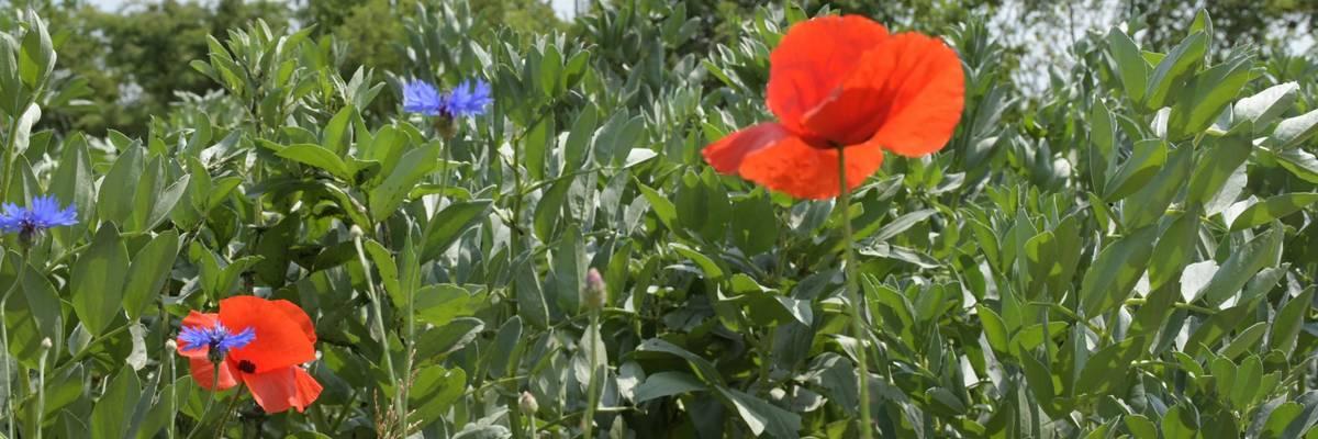 Rote Blüten vor Erbsenpflanzen