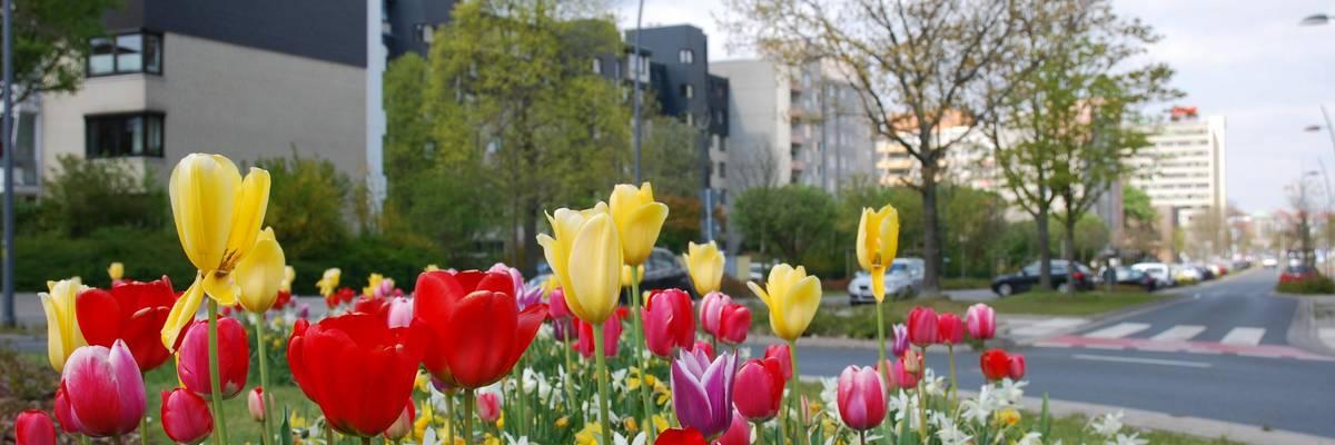 Tulpenbeet auf einem Verkehrskreisel