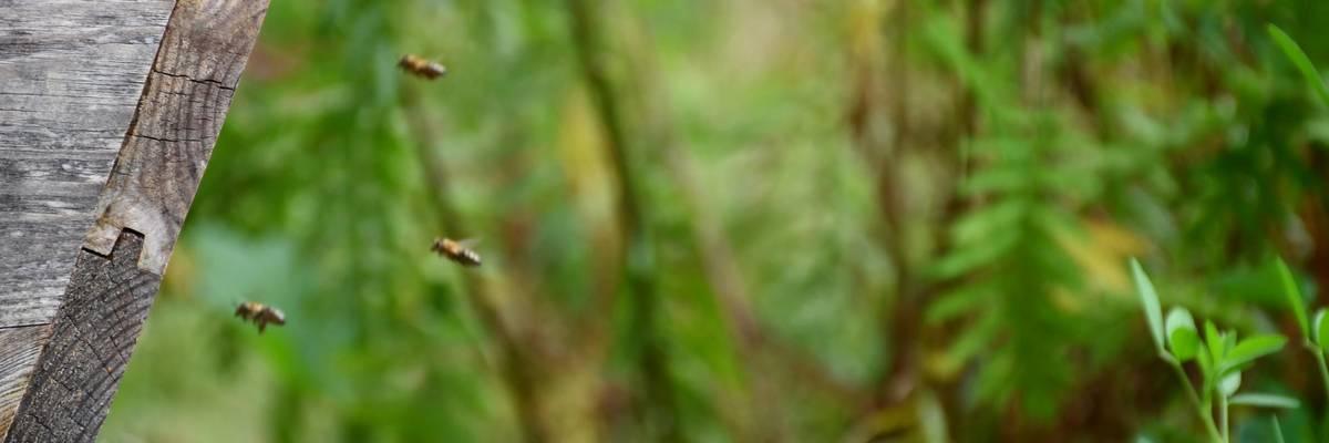 Bienen fliegen in ihren Bienenstock ein. Einige der Tiere sind im Vordergrund des Bildes gut zu erkennen. ©Stadt Laatzen