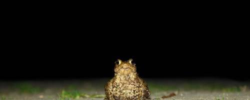 Kröte sitzt bei Dunkelheit auf einer asphaltierten Straße