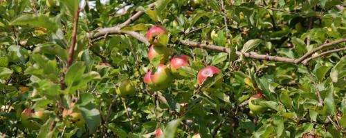 Pflückreife rote-grüne Äpfel am Baum