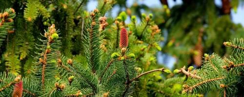 Tannenbaum mit Zapfen