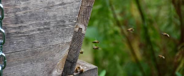 fliegende Bienen vor dem Bienenstock ©Stadt Laatzen