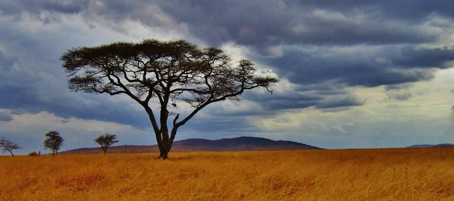 Akazie in Tansania