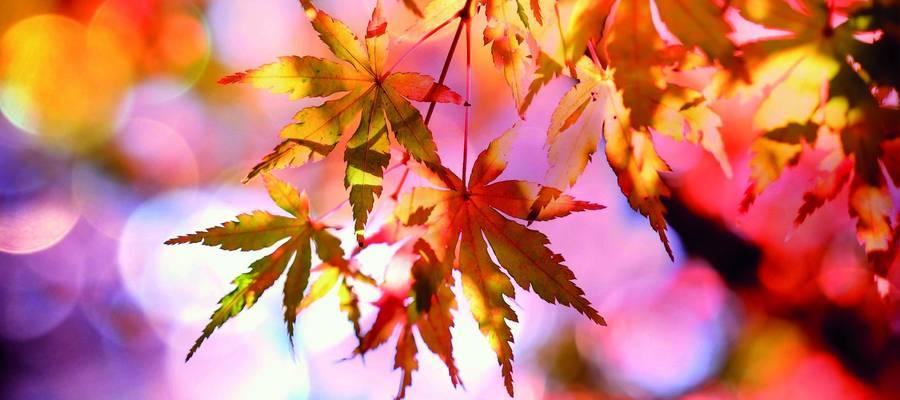 bunte Ahornblätter im Sonnenschein